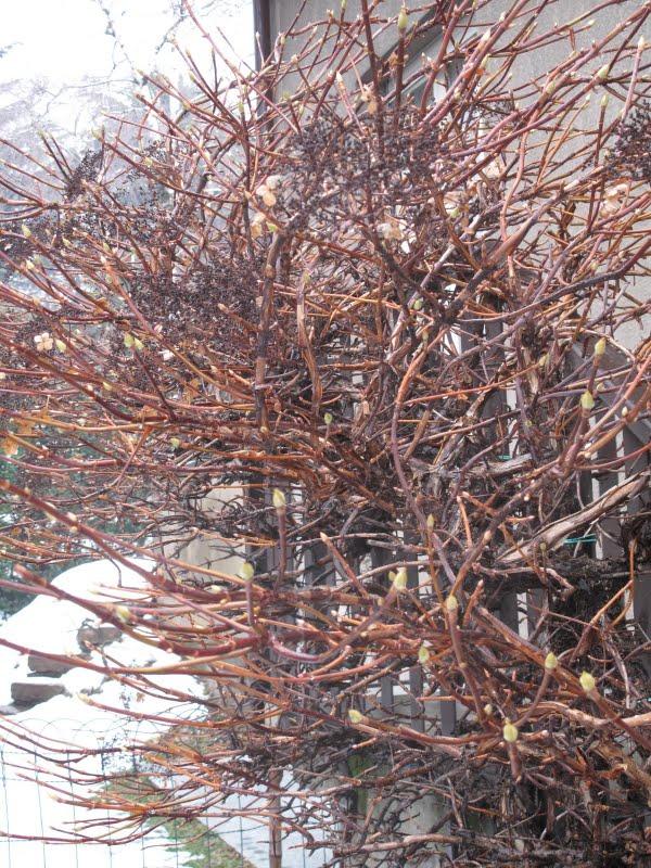 Pivoines et macarons hydrangea petiolaris hortensia grimpant - Quoi planter en hiver ...