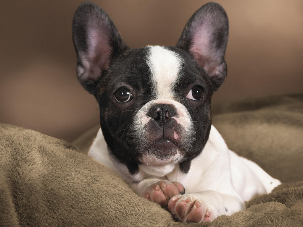 http://2.bp.blogspot.com/-TKqtriZv9hU/Th84Y62xE2I/AAAAAAAAALQ/SScjTKQU4GA/s1600/Boston+Terrier+Dogs+Wallpapers+4.jpg