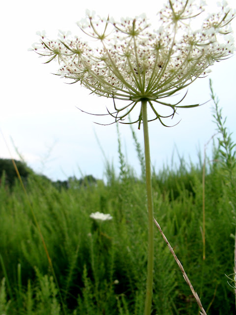 photograph of flowering queen anne's lace in a field