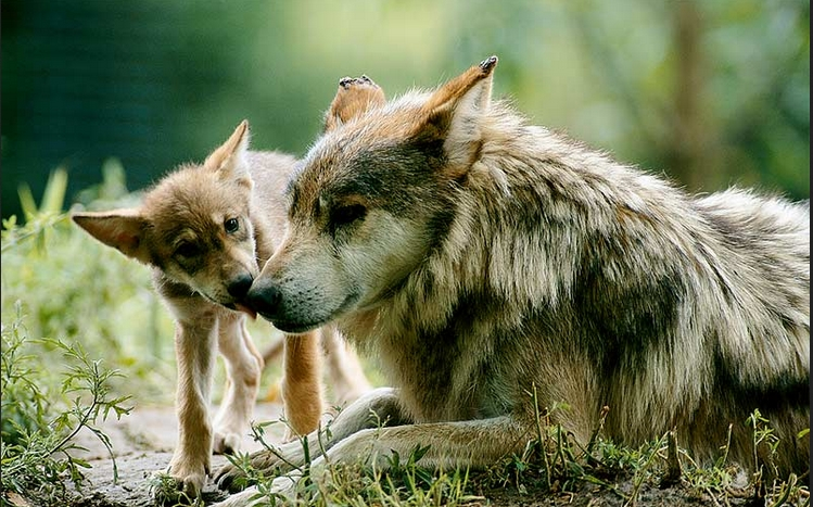 A 14 week old Mexican gray wolf pup getting a bath from Mom (VIDEO)