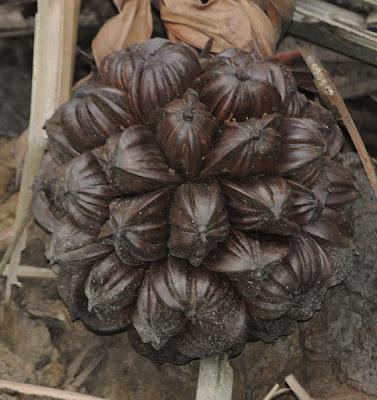 Nipa palm (Nypa fruticans)
