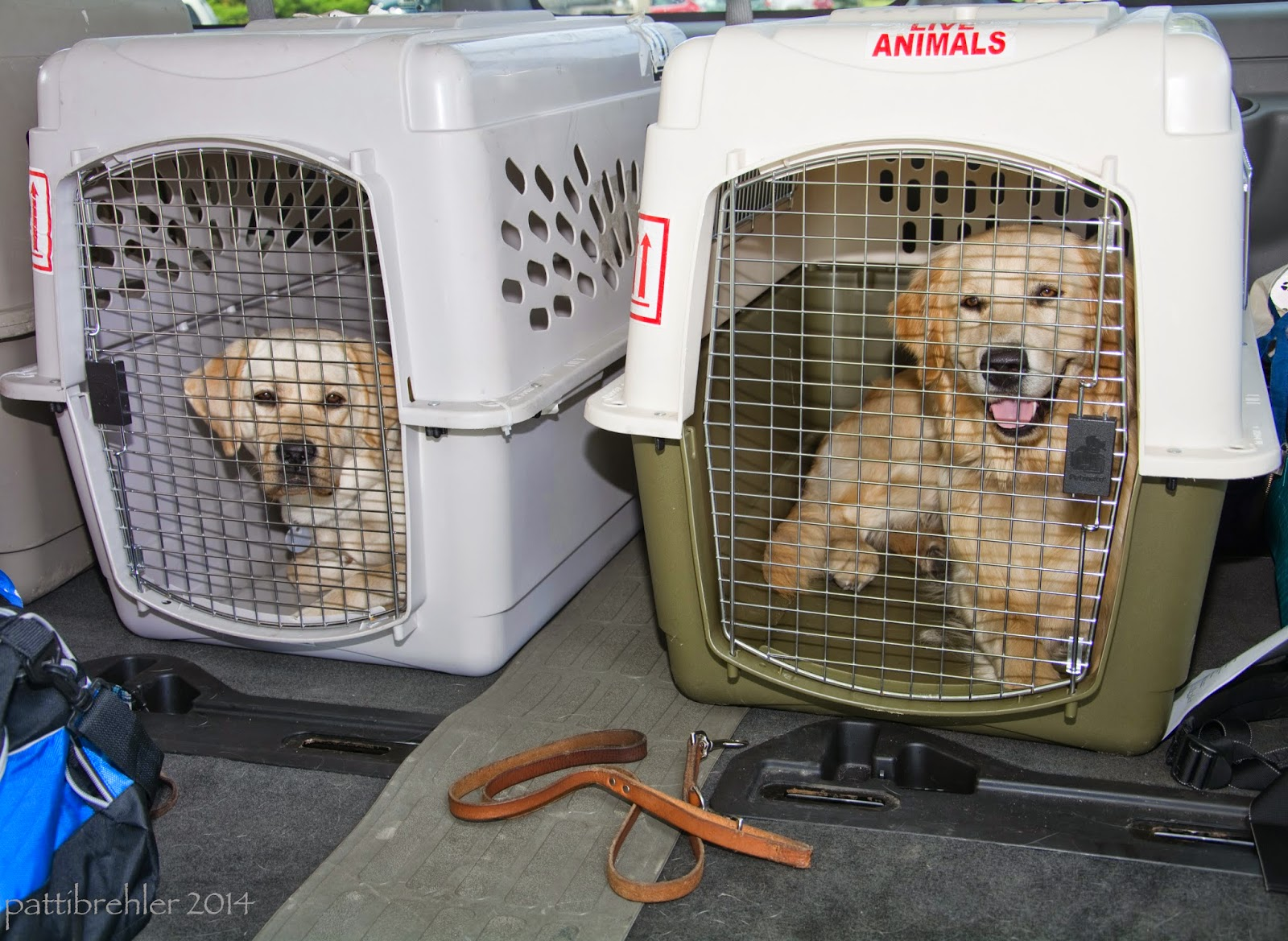 Two airline crates hold a yellow lab (left) and a golden retriever. The dogs are lying down looking toward the camera. The crates are in a van and there is a leash on the floor in front of them.