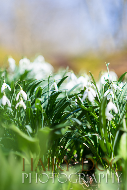 snowdrops at hawthorn dene during a specialist pet portrait session
