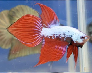 12 Type Of Betta Fish By Tail Types - Spade Tail