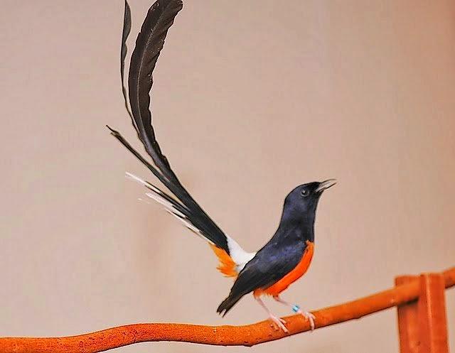 Peluang Bisnis Ternak Burung Murai Batu dengan Pendapatan Ratusan Juta