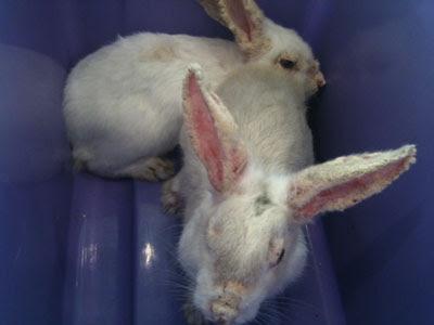 scabies atau kudis pada kelinci