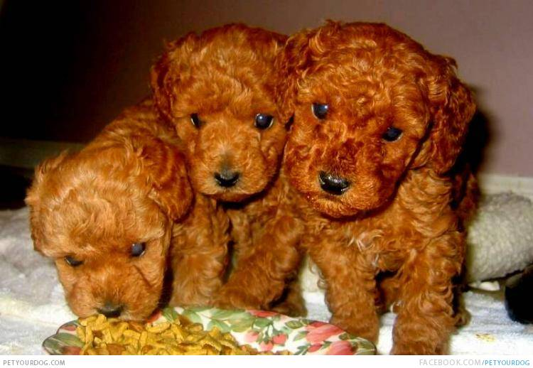 cute puppy dogs cute brown poodle puppy