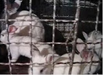 Нахални зайчета