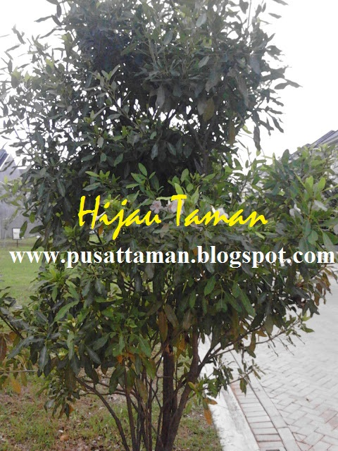 Pohon Tabebuya Bunga Ungu Amp Kuning Pohon Pelindung