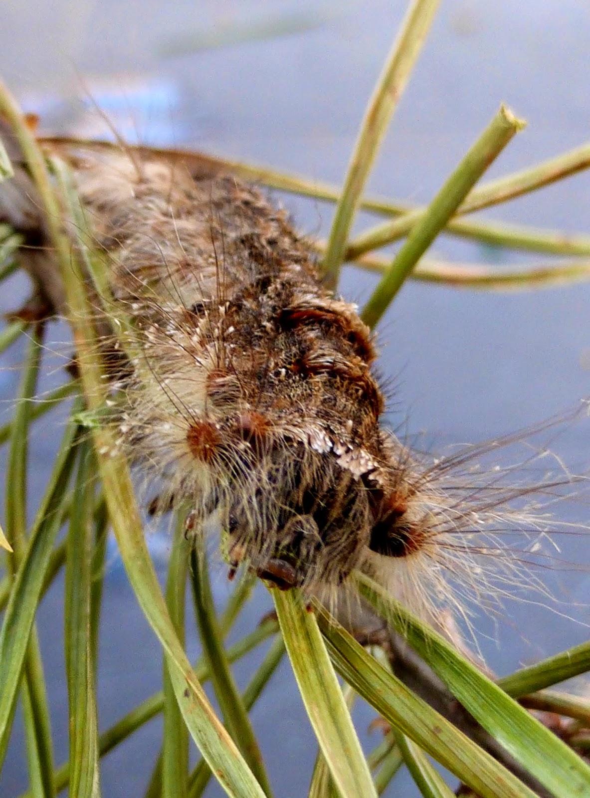 Pachypasa otus L5 caterpillar
