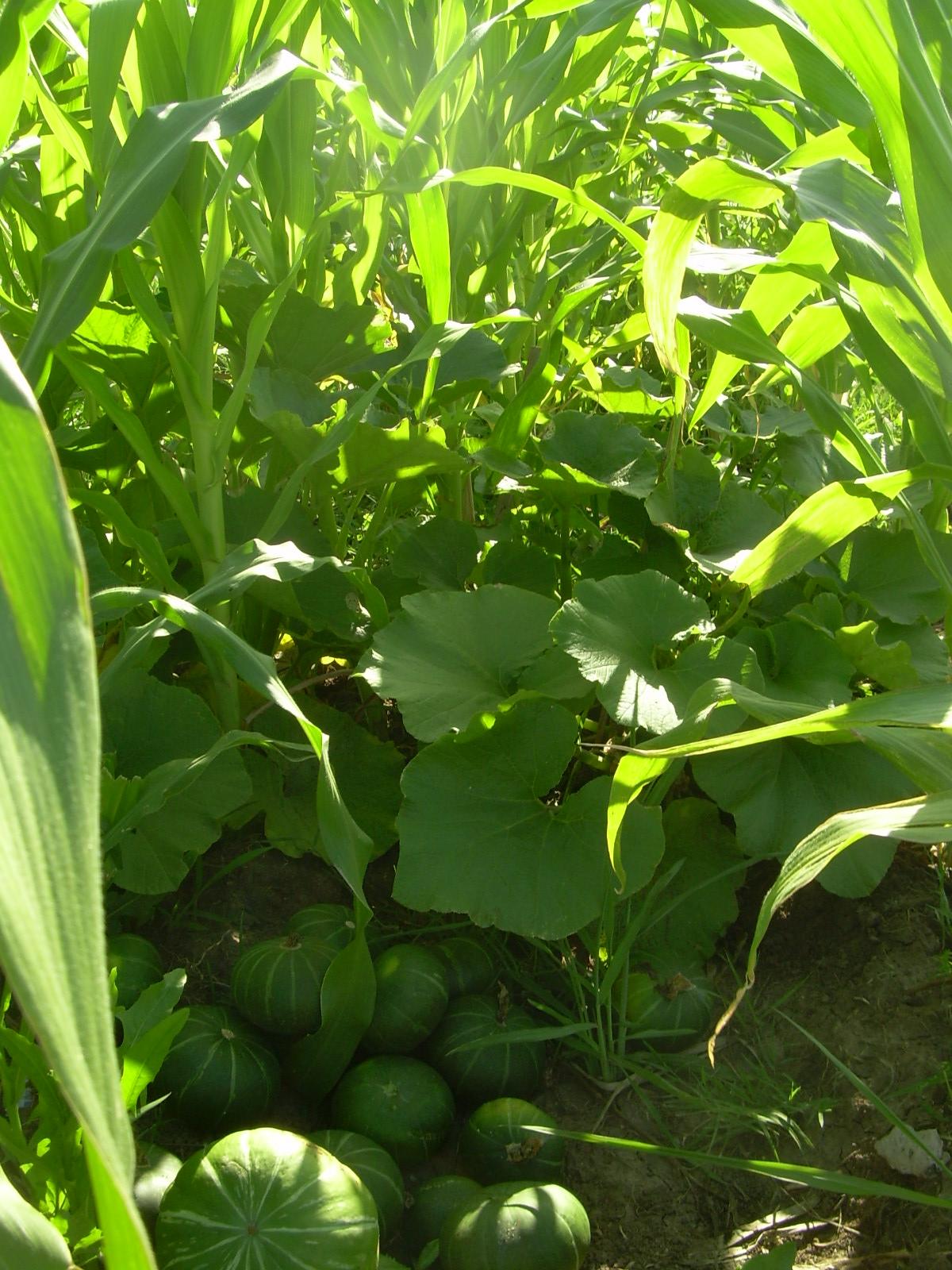 Cetaar talleres en el cetaar plantas medicinales y for Plantas para huerta organica