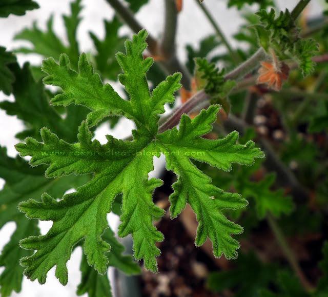 Cocomint Rose scented pelargonium leaf