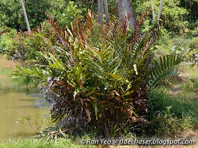 Piai Raya (Acrostichum aureum)