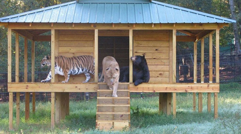 La historia de Leo, Baloo y Shere Khan: El vínculo inseparable entre un oso, un león y un tigre