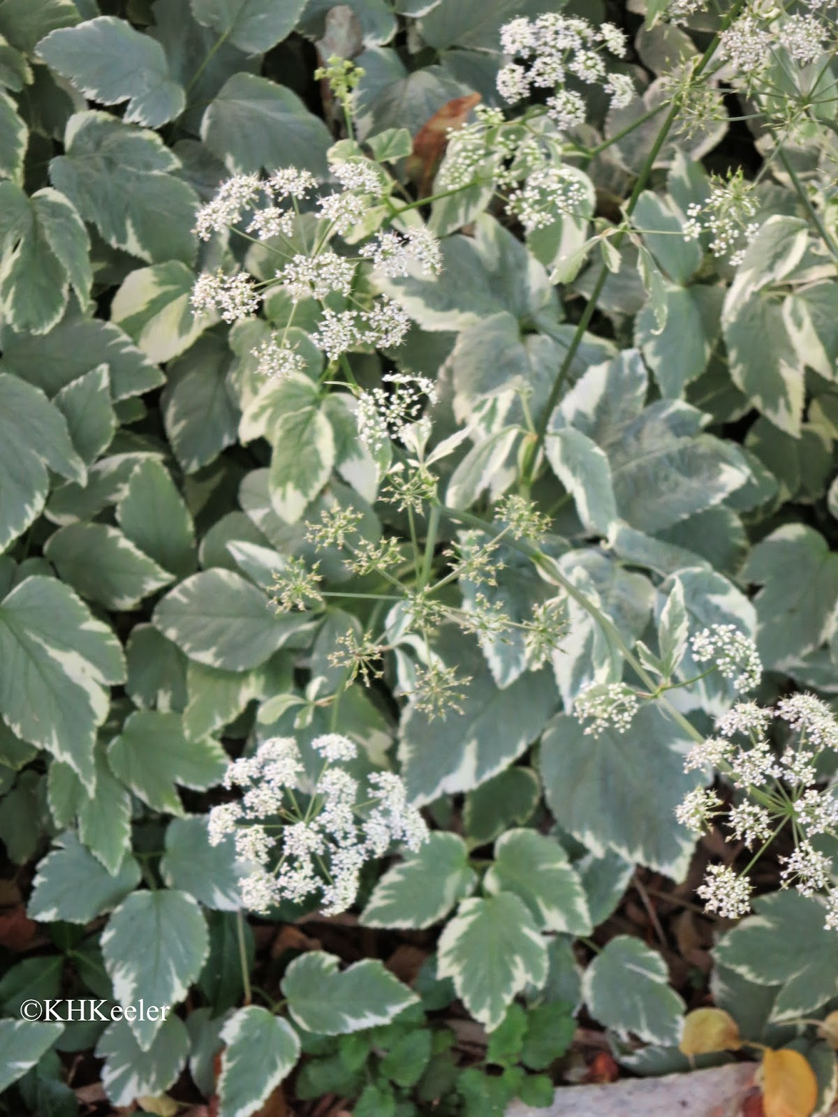flowers, bishop's weed