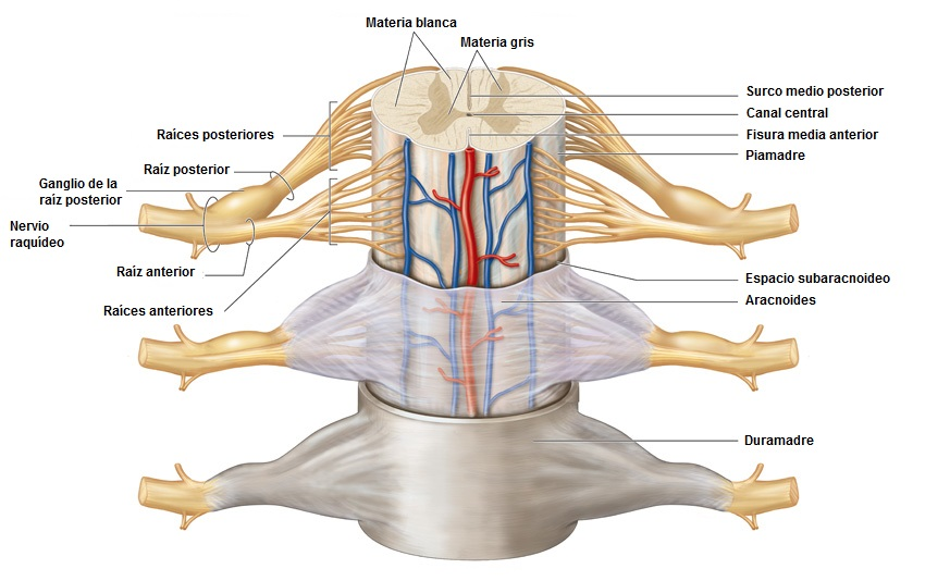 Biología Humana: SNC: Cubiertas del encéfalo y médula espinal