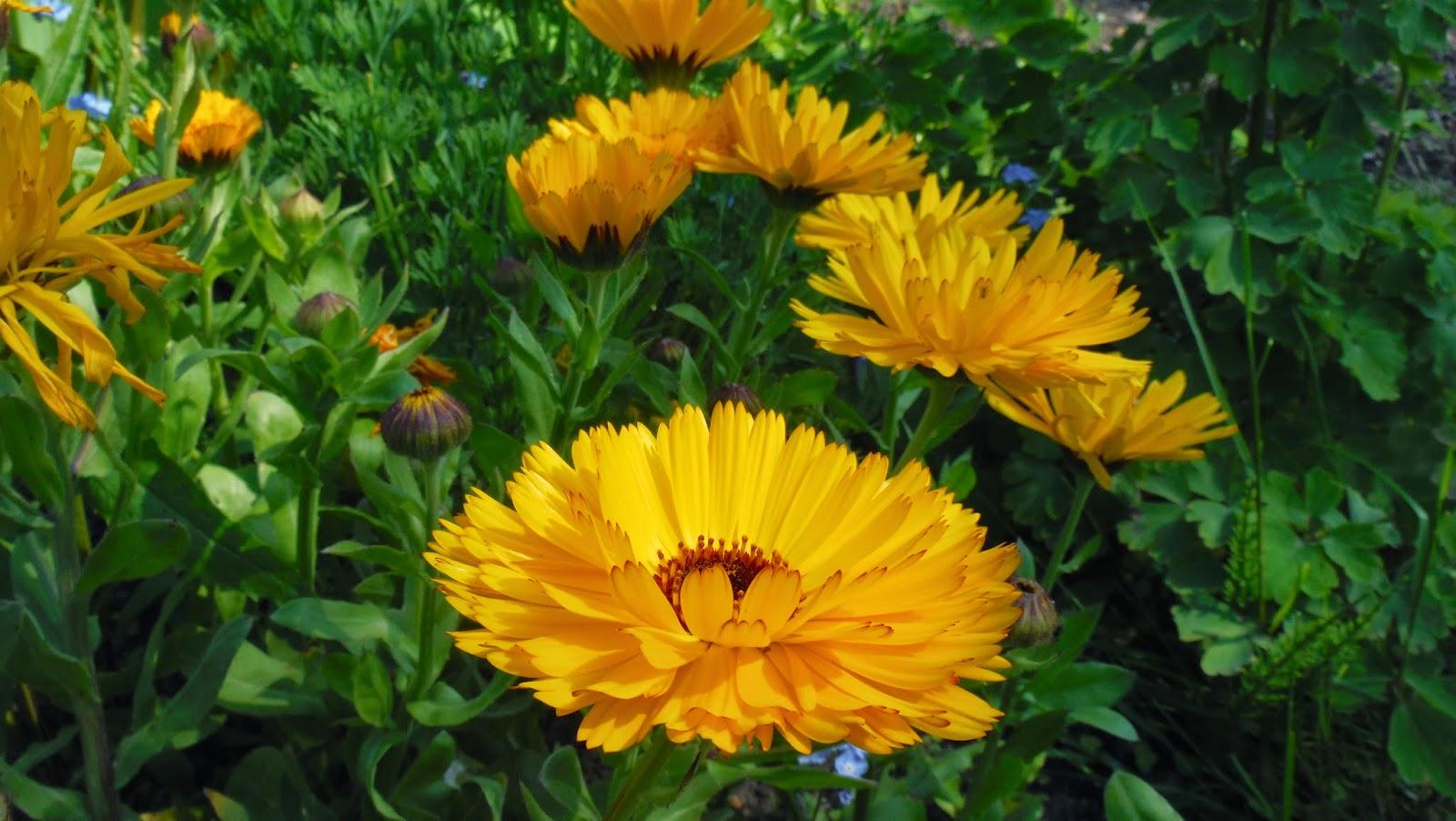 pot+marigold