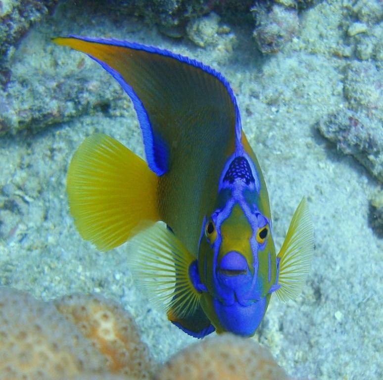 Depalm adise snuba at de palm island part 2 for Queen angel fish