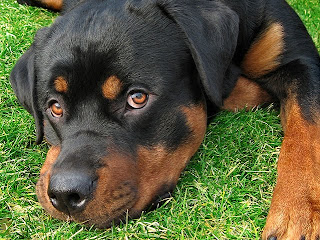 rottweiler dog puppt puppies animal pets picture
