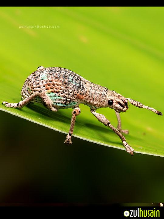 Weevil di Panchur Sebatu