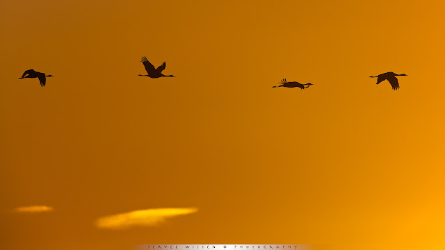 European Cranes backlit silhouette @ sunrise
