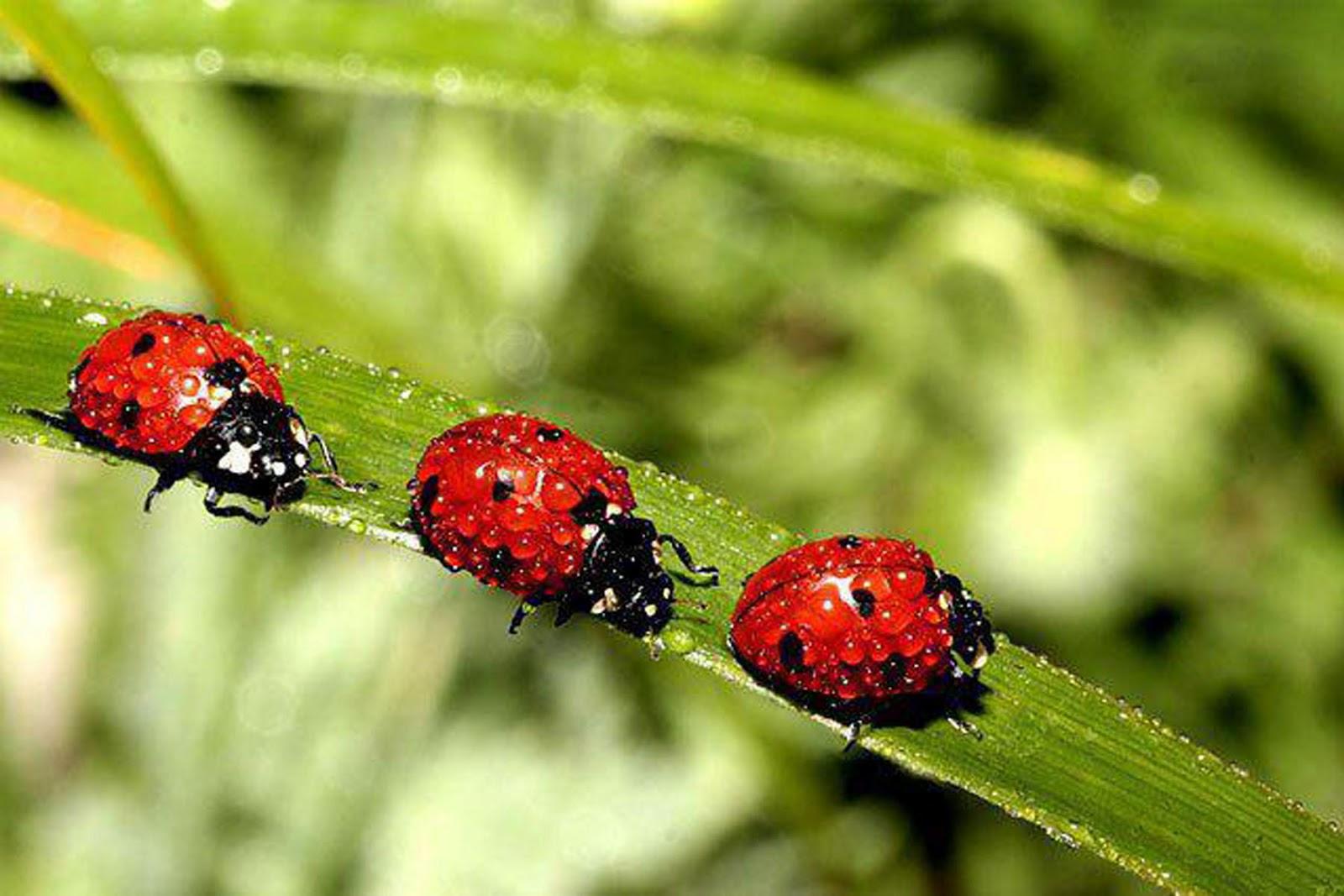 Lady Bugs That Look Wwwpicsbudcom