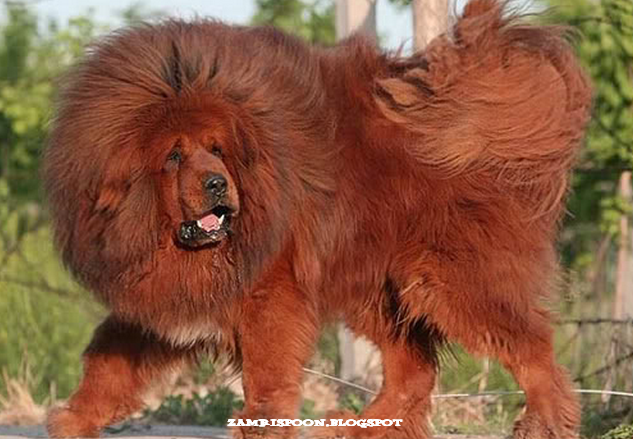 giant red tibetan mastiff - photo #17