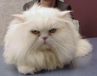 A white Persian cat with full coat