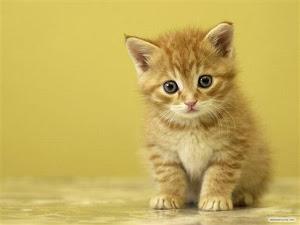 kucing kesayangan , aq suka sgt dia sbb dia comeeelll . love u !