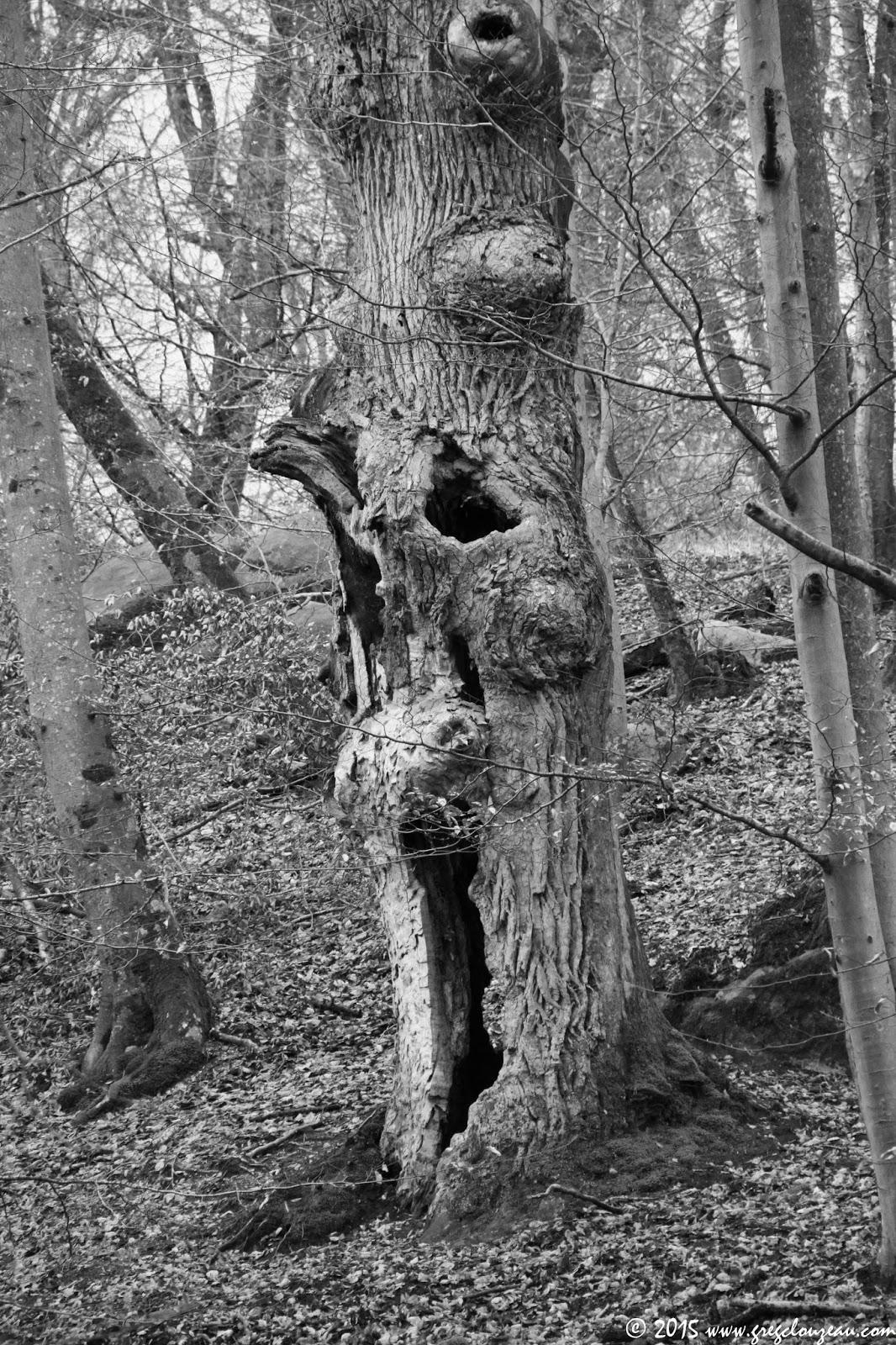 Bouh, chêne, Gorges d'Apremont, Fontainebleau, (C) 2015 Greg Clouzeau