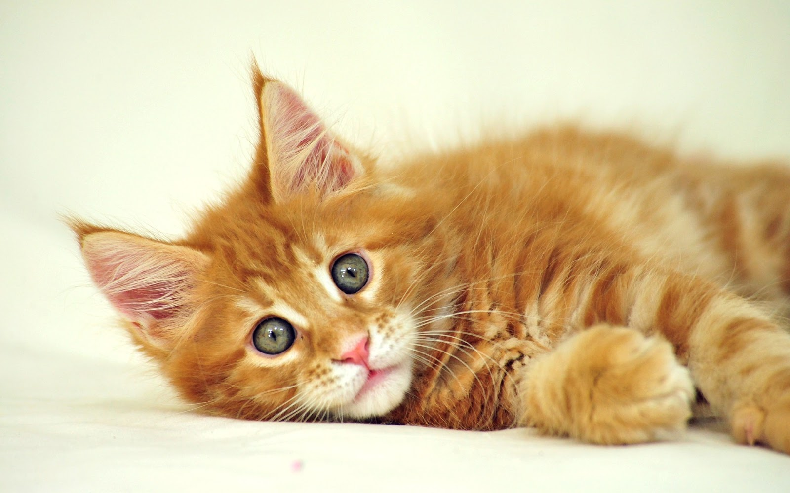 Cute-Cat-HD-Wallpaper.jpg