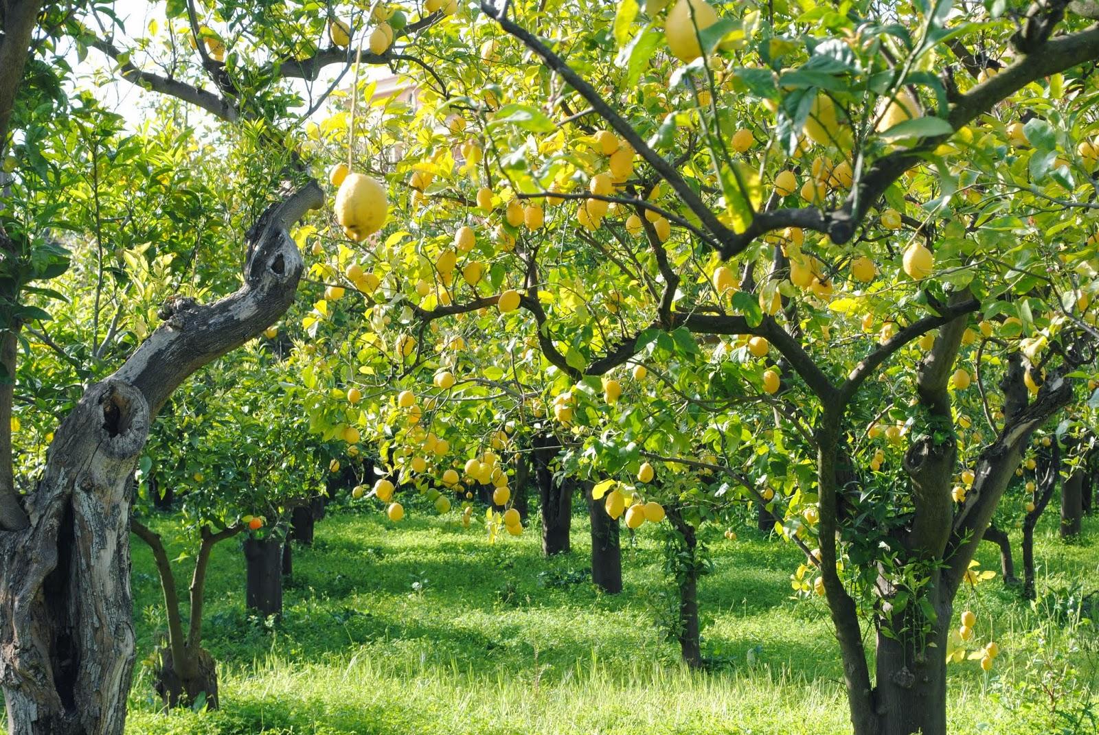 L 39 orto e altri maestri sincronicit for Piante di cedro vendita