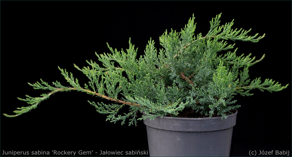 Juniperus sabina 'Rockery Gem' - Jałowiec sabiński pokrój