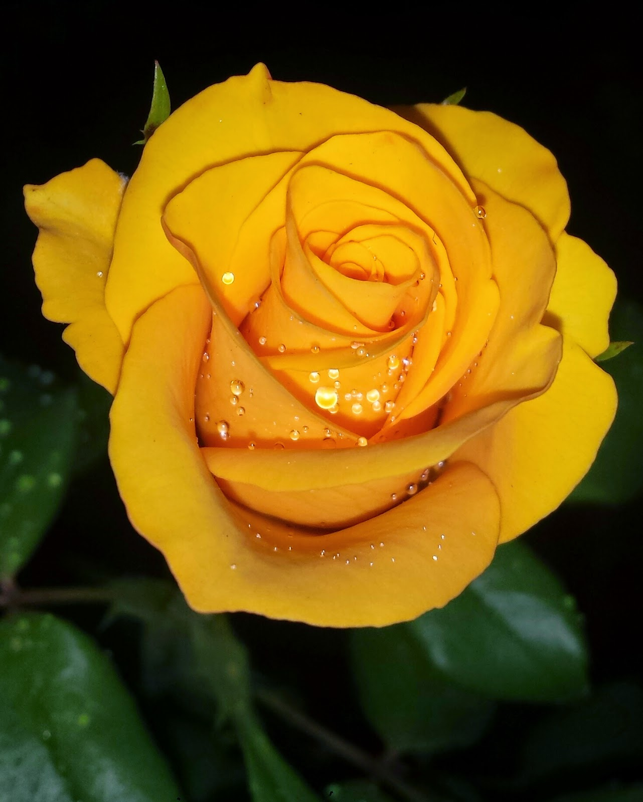 jardim rosas amarelas : jardim rosas amarelas:Rosas amarelas