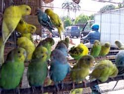 Budidaya Burung Parkit