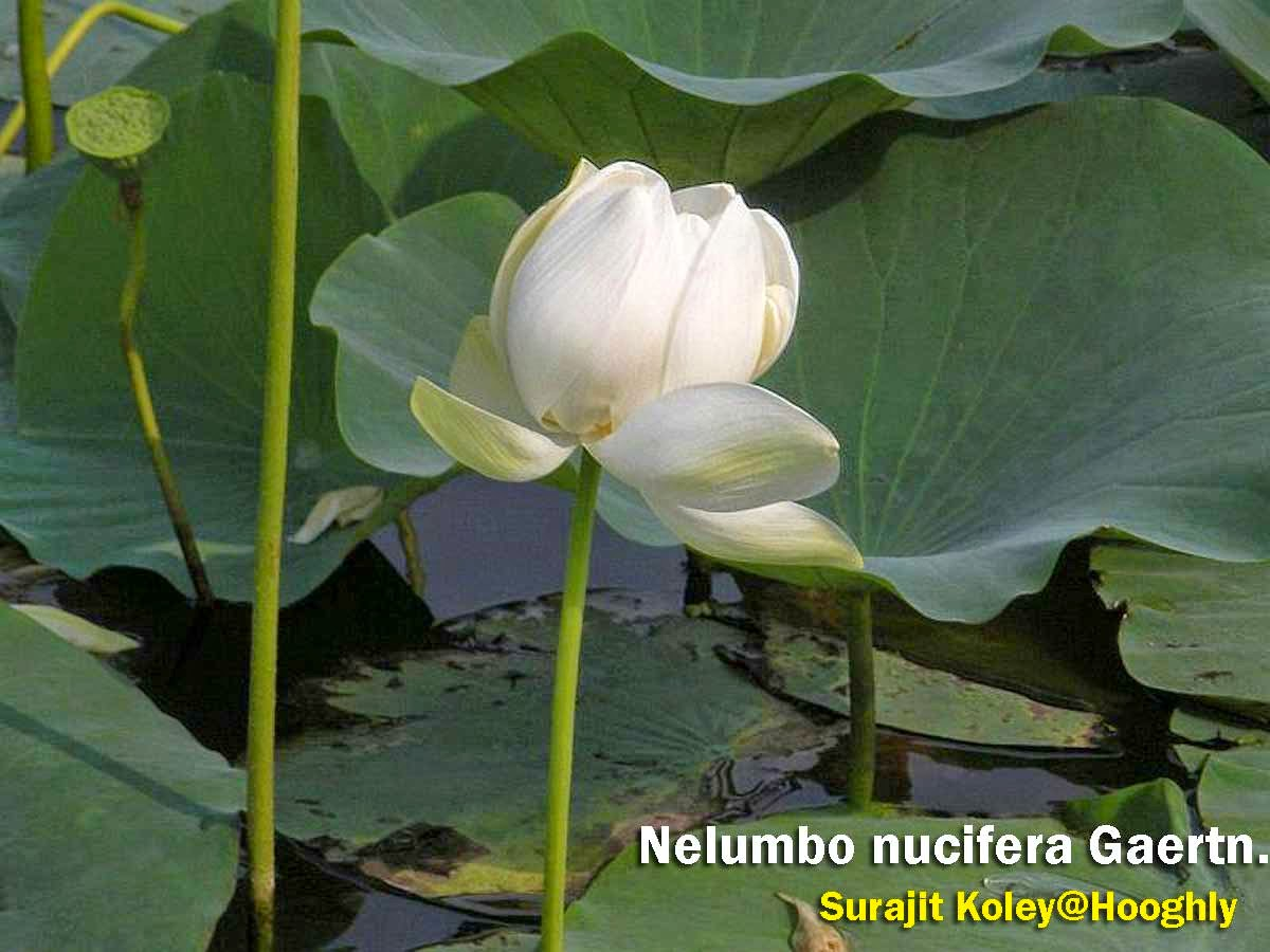 Medicinal Plants Nelumbo Nucifera