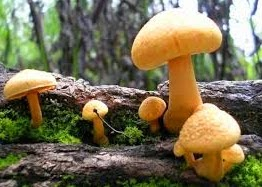 Ciri-Ciri Jamur (Fungi)