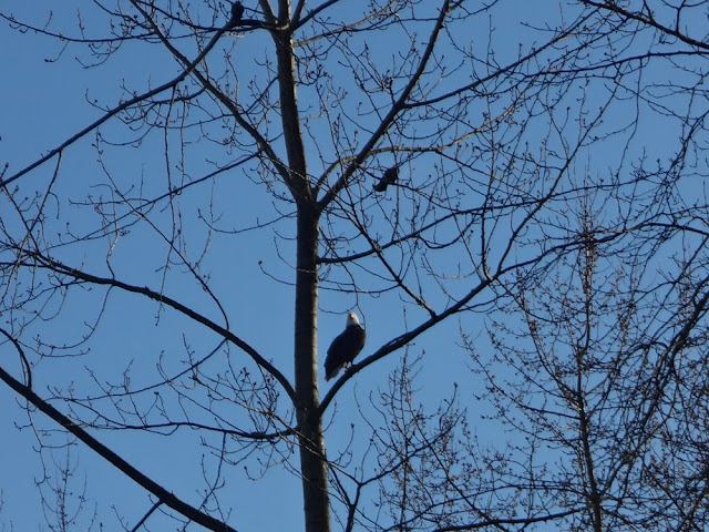 bald eagle in vancouver near kits beach