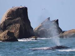 Baleia Franca - esguicho