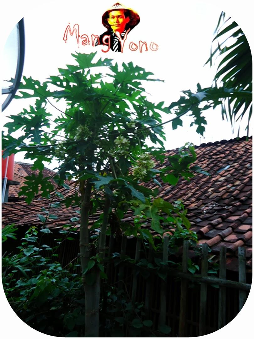 Pohon pepaya  di belakang rumah Mang Yono