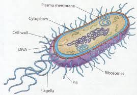 Klasifikasi Prokariotik (Archaebacteria dan Eubacteria)