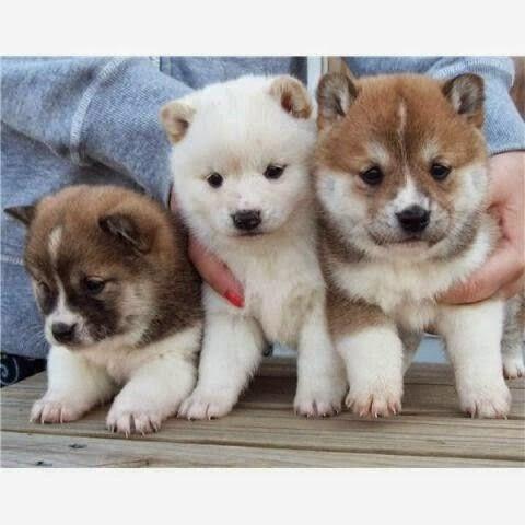Shiba Inu Puppies. Shiba Inu dog art portraits, photographs,