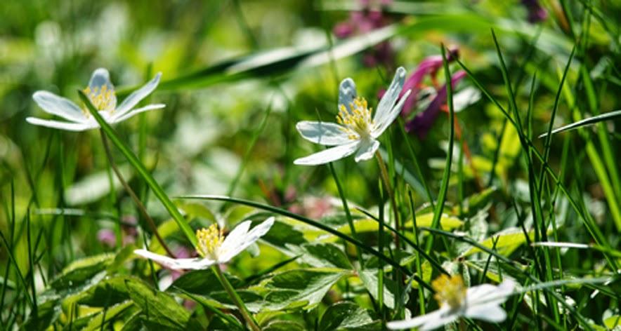 Hvide anemoner i haven