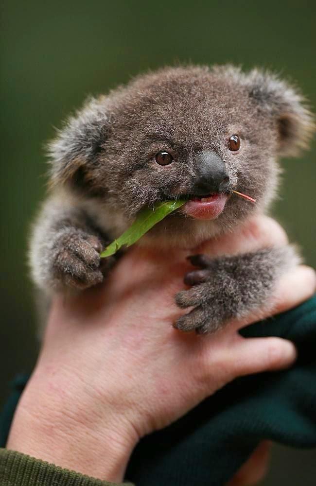 Cute Baby Koala