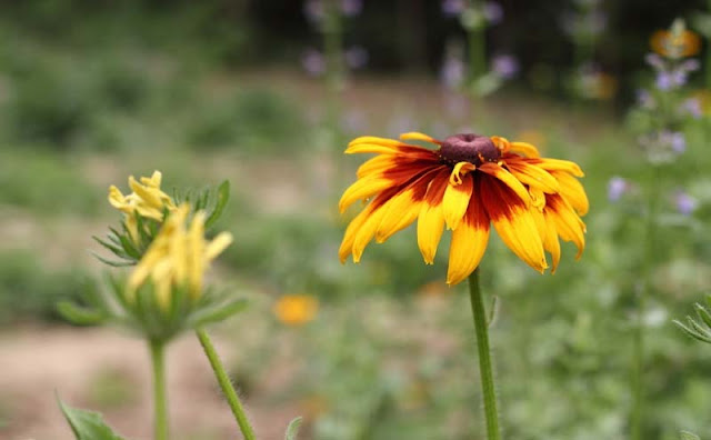 Rudbeckia Hirta Flowers Pictures