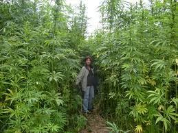 legalização do cânhamo