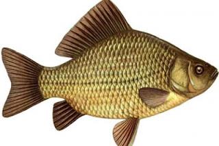umpan ikan mas alami