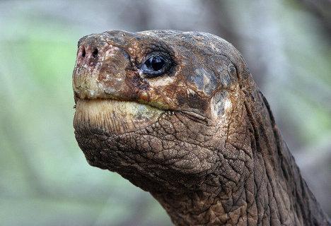 Giant Galapagos Turtoise, foto, Kura-kura terbesar