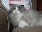 I ♥ cat ragdoll