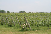 Summer Vines
